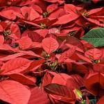 なぜポインセチアはクリスマスの花なのか