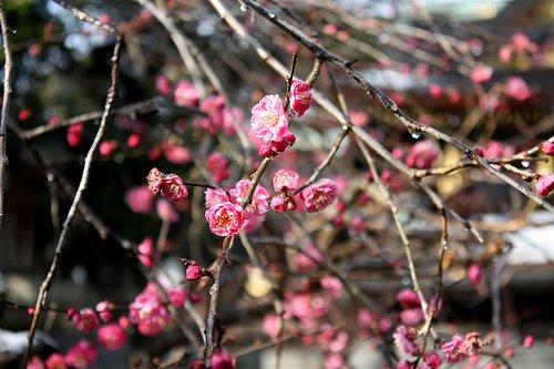 梅花祭 photo