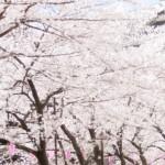 東京の桜が開花宣言で天気予報から花見に適した週末は?