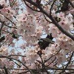 ソメイヨシノの色が薄い?桜のイメージは白とピンクどっち?
